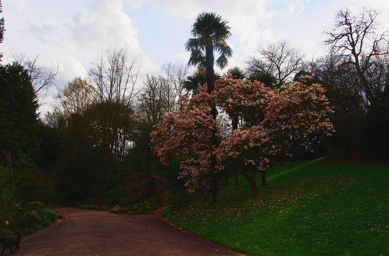 Magnolia du jardin des plantes