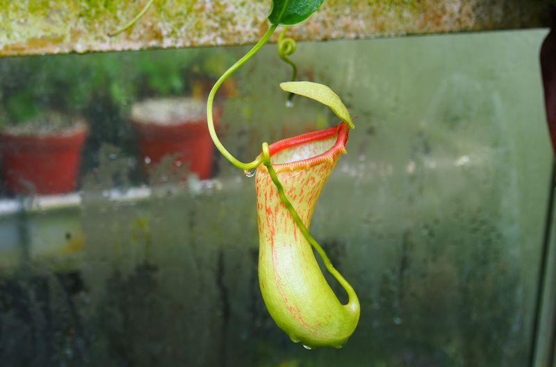 Plante carnivore dans l'humidité